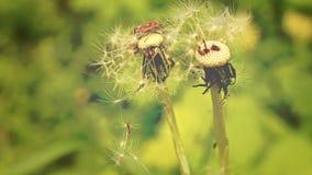 Σε ένα θερινό λιβάδι Δασικά έντομα σε μια πικραλίδα απόθεμα βίντεο