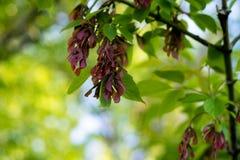 Σε ένα νέο δέντρο τέφρας, οι σκοτεινοί σπόροι βελούδου εμφανίστηκαν υπό μορφή νυχιών Στοκ Εικόνα