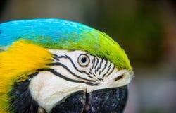 Σε ένα τροπικό δάσος, μια μεγάλη πράσινη κινηματογράφηση σε πρώτο πλάνο παπαγάλων macaw Ένα οριζόντιο πλαίσιο Στοκ Φωτογραφίες
