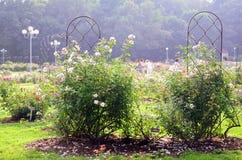 Σε ένα Rose Garden Στοκ εικόνα με δικαίωμα ελεύθερης χρήσης