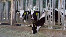 Σε αργή κίνηση αγελάδα γάλακτος στο σύγχρονο αγρόκτημα Αγελάδες βοοειδών στη σιταποθήκη ενός γαλακτοκομικού αγροκτήματος απόθεμα βίντεο