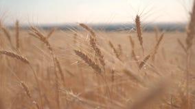 Σε αργή κίνηση βίντεο τοπίων ηλιοβασιλέματος τομέων συγκομιδών σίτου έξυπνη έννοια οικολογίας γεωργίας καλλιέργειας αγροτών Τομέα φιλμ μικρού μήκους