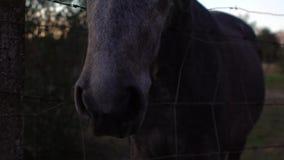 Σε αργή κίνηση γυναίκα που ταΐζει ένα όμορφο άλογο Άλογα τροφών με το κομμάτι του ψωμιού φιλμ μικρού μήκους