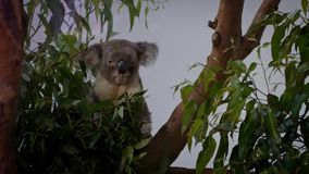 Σε αργή κίνηση κτηνιατρικό δίνοντας φάρμακο στο άρρωστο koala Ιατρική μέσω του στόματος φιλμ μικρού μήκους