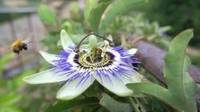 Σε αργή κίνηση μέλισσα στο λουλούδι απόθεμα βίντεο