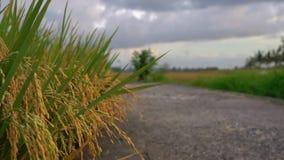 Σε αργή κίνηση πυροβολισμός του ωριμασμένου ρυζιού σε έναν μεγάλο τομέα ρυζιού απόθεμα βίντεο