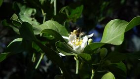 Σε αργή κίνηση της μέλισσας στο πορτοκαλί άνθος συλλέγει το νέκταρ Μέλισσες στο λουλούδι δέντρων απόθεμα βίντεο