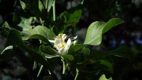 Σε αργή κίνηση της μέλισσας στο πορτοκαλί άνθος συλλέγει το νέκταρ Μέλισσες στο λουλούδι δέντρων φιλμ μικρού μήκους