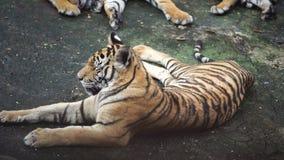 Σε αργή κίνηση της τίγρης φιλμ μικρού μήκους