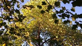 Σε αργή κίνηση του φύλλου δέντρων ενάντια στο μπλε ουρανό απόθεμα βίντεο