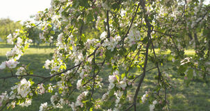 Σε αργή κίνηση φορητός παν πυροβολισμός του ανοικτό ροζ άνθους δέντρων μηλιάς Στοκ Φωτογραφίες