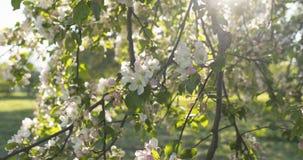Σε αργή κίνηση φορητός παν πυροβολισμός του ανοικτό ροζ άνθους δέντρων μηλιάς Στοκ Εικόνα