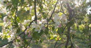 Σε αργή κίνηση φορητός παν πυροβολισμός του ανοικτό ροζ άνθους δέντρων μηλιάς Στοκ Φωτογραφία