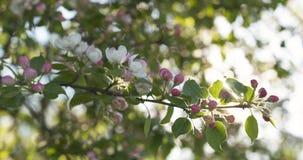 Σε αργή κίνηση φορητός παν πυροβολισμός του ανοικτό ροζ άνθους δέντρων μηλιάς Στοκ φωτογραφίες με δικαίωμα ελεύθερης χρήσης
