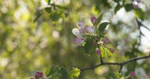 Σε αργή κίνηση φορητός παν πυροβολισμός του ανοικτό ροζ άνθους δέντρων μηλιάς Στοκ φωτογραφία με δικαίωμα ελεύθερης χρήσης