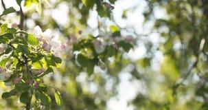 Σε αργή κίνηση φορητός παν πυροβολισμός του ανοικτό ροζ άνθους δέντρων μηλιάς Στοκ εικόνα με δικαίωμα ελεύθερης χρήσης