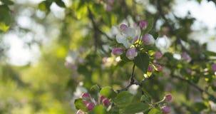 Σε αργή κίνηση φορητός παν πυροβολισμός του ανοικτό ροζ άνθους δέντρων μηλιάς Στοκ εικόνες με δικαίωμα ελεύθερης χρήσης