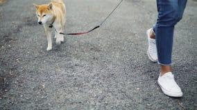 Σε αργή κίνηση χαμηλός πυροβολισμός του θηλυκού ιδιοκτήτη σκυλιών που περπατά το χαριτωμένο σκυλί shiba της ενώ το ζώο απολαμβάνε απόθεμα βίντεο