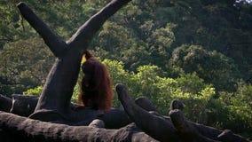 Σε αργή κίνηση bornean orangutan μητέρων και μωρών στα δέντρα του δάσους απόθεμα βίντεο