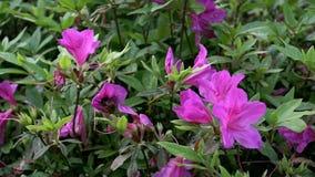 Σε αργή κίνηση Bumblebee που επικονιάζει τα όμορφα λουλούδια Bumble-Bee άνθος απόθεμα βίντεο