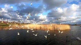 Σε αργή κίνηση seagull της μύγας σε μια λίμνη φιλμ μικρού μήκους