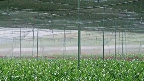Σε αργή κίνηση - sprinkers νερού που ποτίζουν τις εγκαταστάσεις Amaryllis μέσα σε ένα θερμοκήπιο απόθεμα βίντεο