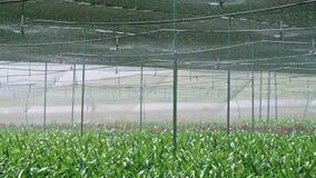 Σε αργή κίνηση - sprinkers νερού που ποτίζουν τις εγκαταστάσεις Amaryllis μέσα σε ένα θερμοκήπιο φιλμ μικρού μήκους