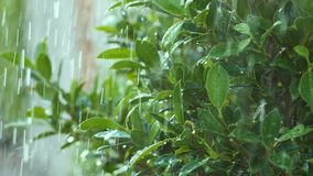 Σε αργή κίνηση Succulent πότισμα σταγόνων βροχής παφλασμών στο φρέσκα πράσινα φύλλο και το δέντρο φύσης απόθεμα βίντεο