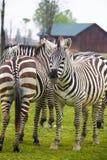 Σε αυτήν την φωτογραφία μια ομάδα zebras στοκ εικόνες με δικαίωμα ελεύθερης χρήσης