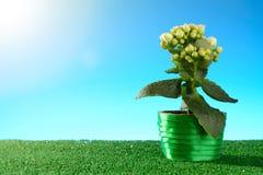 Σε δοχείο λουλούδι πράσινο σε ηλιόλουστο Στοκ Φωτογραφία
