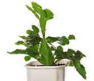 Σε δοχείο φυτό κάκτων που απομονώνεται στο λευκό. Στοκ Εικόνα