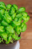 Σε δοχείο φυτό χορταριών βασιλικού Στοκ Εικόνες