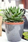 Σε δοχείο Aloe Βέρα Plant στον ξύλινο πίνακα Aloe Βέρα αφήνει τις τροπικές πράσινες εγκαταστάσεις ανέχεται την καυτή εστίαση καιρ Στοκ φωτογραφία με δικαίωμα ελεύθερης χρήσης