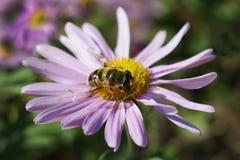 Σε μια ανοικτό μωβ μαργαρίτα η μέλισσα συλλέγει το μέλι στοκ φωτογραφίες
