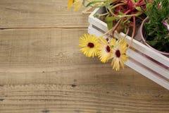 Σε δοχείο μαργαρίτα livingstone σε ένα άσπρο ξύλινο εμπορευματοκιβώτιο Στοκ φωτογραφία με δικαίωμα ελεύθερης χρήσης