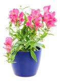 σε δοχείο μπλε λουλούδι Antirrhinum Στοκ Φωτογραφίες