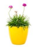 σε δοχείο ρόδινο λουλούδι Armeria Στοκ φωτογραφία με δικαίωμα ελεύθερης χρήσης