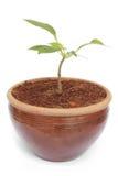 Σε δοχείο φυτό Στοκ Εικόνα