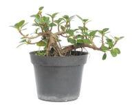 Σε δοχείο φυτό Στοκ Εικόνες