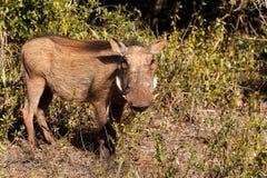 Σε σας - africanus Phacochoerus το κοινό warthog Στοκ Εικόνες