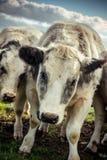 Σημάνετε δασύτριχη αγελάδα μια κρύα ημέρα στοκ εικόνες