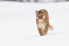 Σημάνετε λιοντάρι βουνών περπατώντας προς τα εμπρός στοκ εικόνες