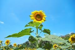 Σημαντικοί ηλίανθοι που ανθίζουν στον τομέα φύσης με το μπλε ουρανό στοκ φωτογραφία