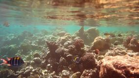 Σημαντικός σκόπελος ψαριών λοχιών με ποικίλα σκληρά και μαλακά κοράλλια απόθεμα βίντεο