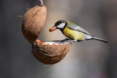 Σημαντικό, μεγάλο tit Parus, που παίρνει τα καρύδια από τον τροφοδότη πουλιών με το αντίγραφο Στοκ Εικόνες