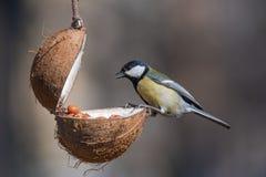 Σημαντικό, μεγάλο tit Parus, που παίρνει τα καρύδια από τον τροφοδότη πουλιών με το αντίγραφο Στοκ Φωτογραφία