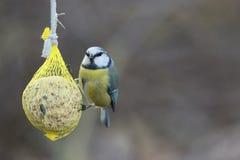 Σημαντικό, μπλε tit Parus Τοπίο άγριας φύσης στοκ εικόνες