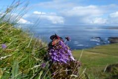Σημείο έξι burnet, filipendulae Zygaena που ζευγαρώνουν σε μια μακροεντολή λουλουδιών Στοκ Εικόνες