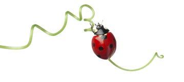 σημείο επτά λαμπριτσών ladybug Στοκ εικόνες με δικαίωμα ελεύθερης χρήσης