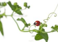 σημείο επτά λαμπριτσών ladybug Στοκ Φωτογραφίες